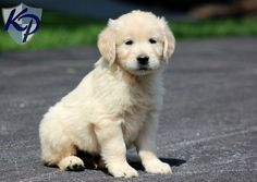 Benson – Golden Retriever Puppies for Sale in PA | Keystone Puppies