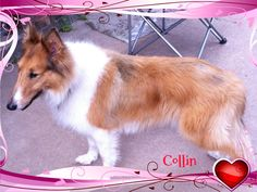Just arrived into HCR.  This is Collin.  He will be 10 on April 29. His senior owner could no longer care for him.  He  loves kids and other dogs. Loves the dog park.  Please go to houstoncollierescue.org to apply for Collin today.