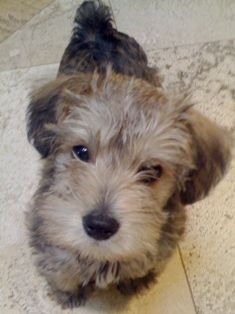 Schnoodle! These are great dogs. Small dog (around 15 pounds) with a ...