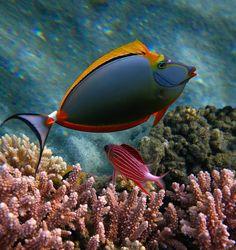 Orange Unicorn-Fish...ORANZHEVOSHIPAYA FISH-Rhino (Naso elegans) and SARGOTSENTRON-Diadem, Red Sea