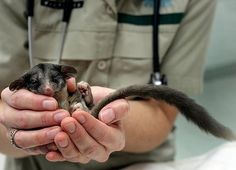 Aaaawwwweee look at the cute Leadbeaters possum c/o The Age.  Photo: Angela Wylie. May 16 2012.