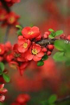 Camellia Japonica 日本山茶