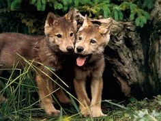 It's my cake day, and instead of the usual cat picture, I bring baby wolves!