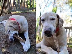 Harley: The Start of a New Chapter | #ItsaLabThing #labradors #DogRescues