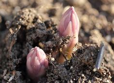 5 Perennial Veggies to Plant Once and Enjoy... Forever - organicauthority.com - Organic Living Maybe I should put the asparagus out front next to the house?