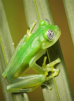 Green translucent frog. So cool!!