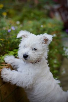 such a cute West Highland Terrier