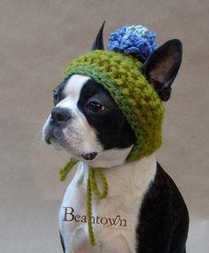 Boston Terrier wearing a hat