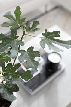 Fig tree, stylizimo home, concrete table