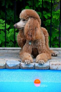 Beautiful red standard poodle!