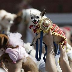 Why do we not have stuff like this in London? The Cinco de Mayo Chihuahua Parade, full of the said species dressed up as... well anything, but preferably something with a vaguely Spanish theme given the name :)