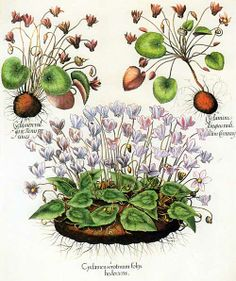 Basilius Besler (1561-1629) included this illustration of two types of cyclamen, Cyclamen hederifolium and Cyclamen purpurascens