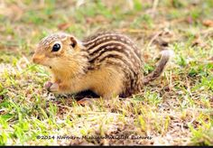 13 Lined Ground Squirrel.  How unusual.