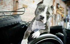 Blue nose♥ #pitbull