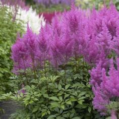 Astilbes are great shade plants, colorful spiked flowers with green serrated foliage.