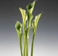 Bulk Cala Lily - Green.  Starting at $71.95 goddess standard, bulk flower, calla lilies, cala lili, green goddess