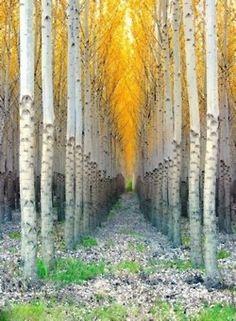 birch, pathway, tree, autumn, color