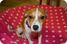 Largo, FL - Jack Russell Terrier/Chihuahua Mix. Meet Paige, a dog for adoption. http://www.adoptapet.com/pet/10537012-largo-florida-jack-russell-terrier-mix