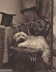 SUPERB-1860s-SKYE-TERRIER-w-MASTERS-TOP-HAT-GLOVES-UMBRELLA-DUBLIN-IRELAND-CDV mid19th centuri
