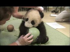 BABY PANDA PLAYING WITH A BALL OMG