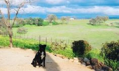 I got to meet Mr. Tux, the vineyard doggie yesterday at Avio Vineyards, what a sweetie, you gotta go meet him and taste some authentically Italian wines!