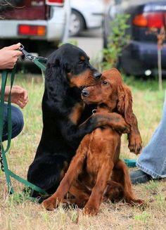 Setter puppy friends! Irish and Gordon