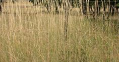 Also called Agropyron-elongatum, Tall wheatgrasses provide an excellent source of biomass to be consider for the pulp industry.