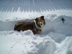 Meet Roxy! She is a 5 year old Shetland Sheepdog adopted from the North Shore Animal League (NSAL) in New York. NSAL is great about raiding puppy mills, providing medical attention to the puppies, and adopting them into loving forever homes. Most likely destined for a puppy shop Roxy was lucky enough to have the shelter intercept so she could be introduced to her special family.