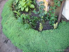 drought tolerant, low-growing, low-maintenance plant  This Sedum has blue-green, succulent foliage, and it only reaches a few inches in height. As the weather warms, the foliage turns to a silvery  blue-gray color, and it has a soft feathery feel to it.  Can bear some wear and tear such as light walking.  Although it is a sun lover in mild climates, this perennial prefers some afternoon shade in areas with extremely hot summers. Porous well-drained soil is essential.