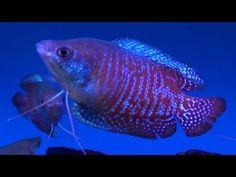 trichogast lalius, dwarf gourami, gourami trichogast, tropic fish, tropical fish