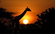 Giraffe at sunrise in the Amboseli National Park in Kenya. #giraffe #sunrise #safari