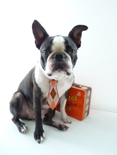 Bubba-Boston Terrier