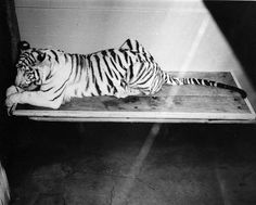 Mohini the white tiger came to the National Zoological Park on December 4,1960. She was formally presented to Pres. Eisenhower.