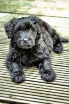 Bouvier puppy!