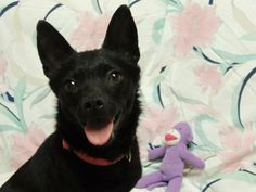 ADOPTED! Bacardi Petfinder Adoptable | Dog | Schipperke | Quincy, IL | Bacardi