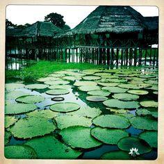 Amazonas. Victoria Regia. Colombia.