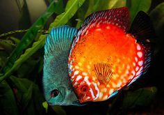 Discus Fish (Pigeon Blood) & (Cobalt)