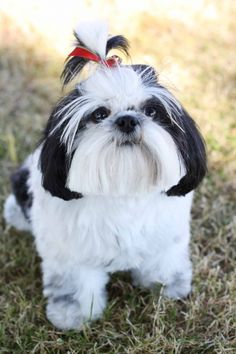 cutest Shih-Tzu dog ever