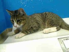 URGENT! ON THE SUN., JUNE 2, 2013 NYCACC EUTHANASIA LIST! 2 year old JOHNNY needs out of TO BE DESTROYED 6/2/13 Brooklyn Center  My name is JOHNNY. My Animal ID # is A0966656. I am a male br tiger and white domestic sh mix. The shelter thinks I am about 2 YEARS old.  I came in the shelter as a STRAY on 05/28/2013 from NY 11233, owner surrender reason stated was STRAY.