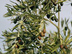 garden grow, dream garden, oliv branch, oliv tree, trees