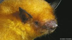 A golden bat from Bolivia has been described as a new species by scientists! It earned itself a 24-carat name (inspired by King Midas and his golden touch): Myotis midastactus.