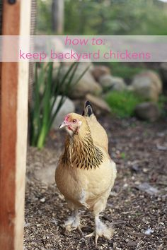 All about raising backyard chickens and eggs