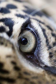 Jaguar Eye by G Steel cats, cat eyes, steel panda, leopards, tigers, beauty, flowers, kitty, pandas