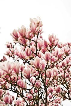 magnolia tree Tree of the day