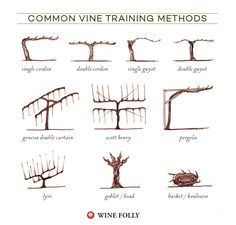f you've ever driven through a vineyard area you may have noticed that some vineyards look different than others. Each vine training system offers different benefits to grapes.