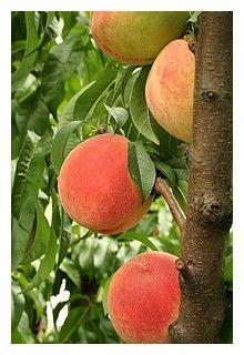 Peach Schnapps Recipes