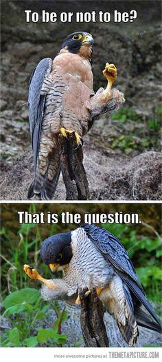 Shakespearean Falcon