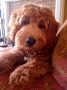 This puppy is beautiful! What a great face! Mini Goldendoodle