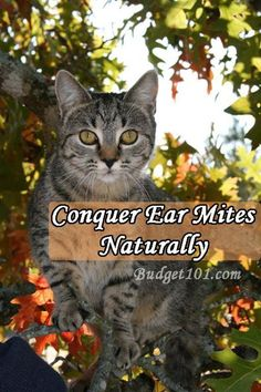 How to remove ear mites in cats and dogs at home without using harsh chemicals http://www.budget101.com/pet-care-recipes/conquering-ear-mites-naturally-3470.html