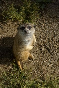Meerkat: I know you have a snack for me.